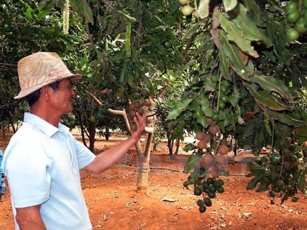 Lam Dong exporte des noix de macadamia en Republique de Coree et a Singapour hinh anh 1
