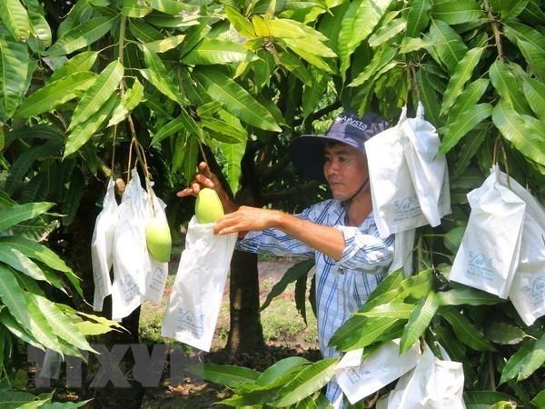 Moc Chau vise 400-500 tonnes de mangues exportees en Chine en 2019 hinh anh 1