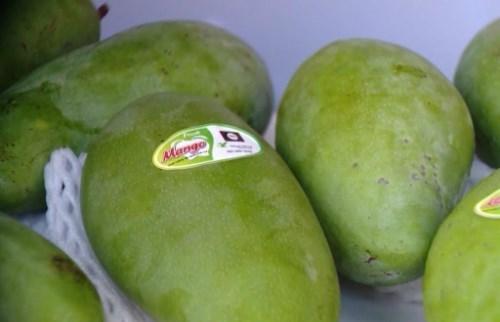 Son La exporte plus de mangues au Royaume-Uni hinh anh 1