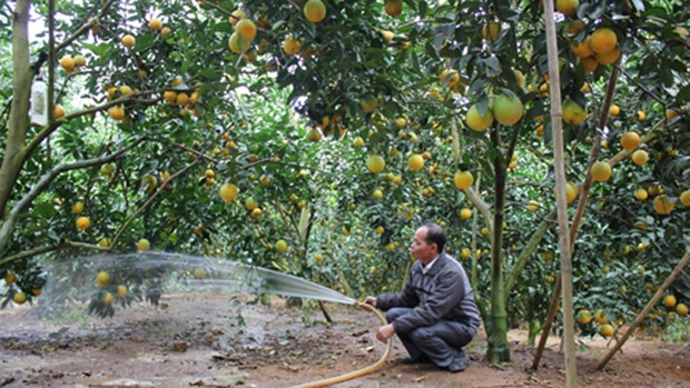 Bac Giang : le district de Luc Ngan veut augmenter les exportations d'agrumes hinh anh 1