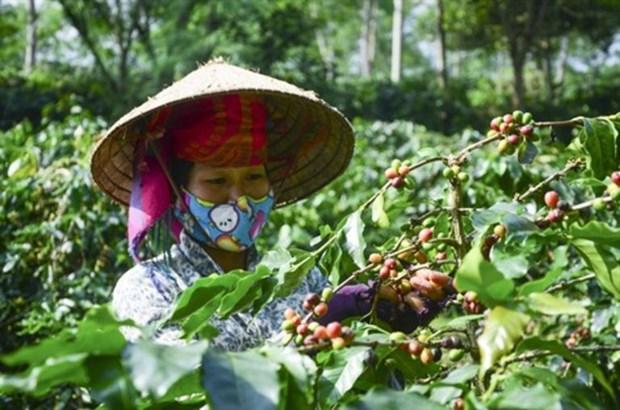 Exportations nationales de cafe en baisse en 11 mois hinh anh 1