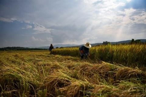 Les exportations de riz du Cambodge augmentent au cours des deux premiers mois hinh anh 1
