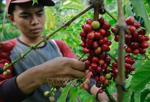 L'Indonesia s'efforce d'ameliorer le rendement de production de cafe hinh anh 1