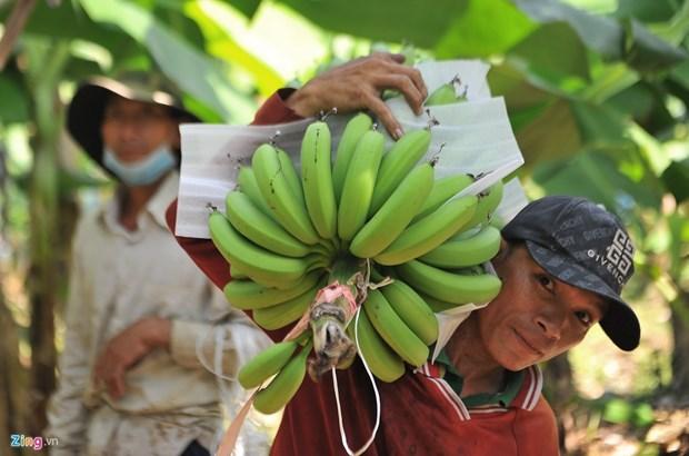 Banane - l'un des principaux produits d'exportation du Laos vers la Chine hinh anh 1