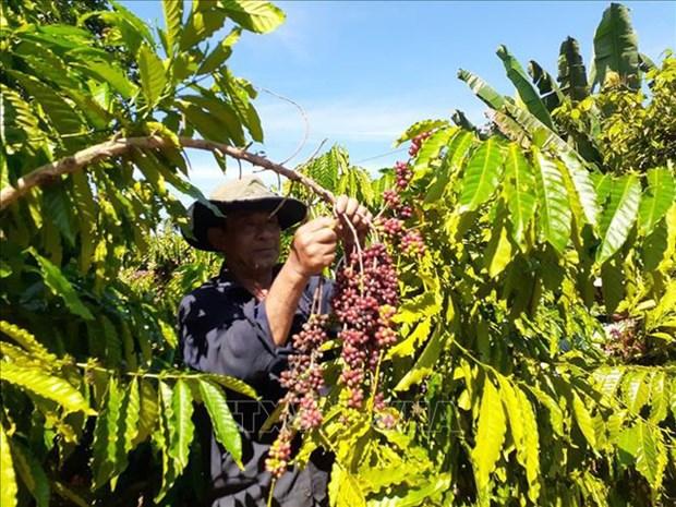 Le Vietnam devient le plus grand fournisseur de cafe du Japon hinh anh 1