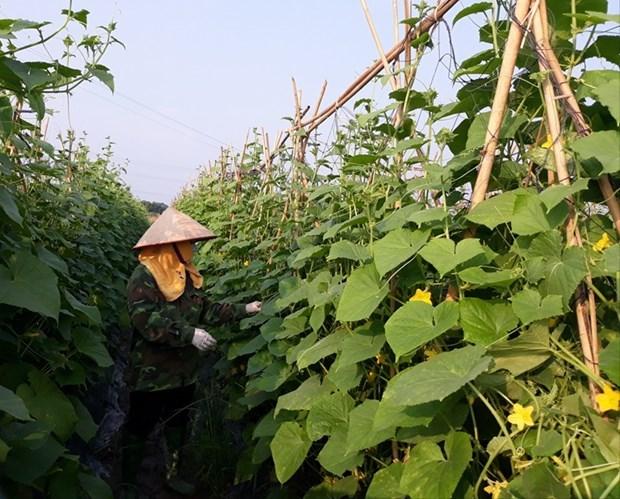 Vinh Phuc : l'agriculture contribue 0,13 point de pourcentage a la croissance provinciale hinh anh 1