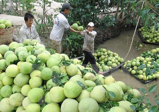 Le Chili autorise l'importation de pamplemousses vietnamiens hinh anh 1
