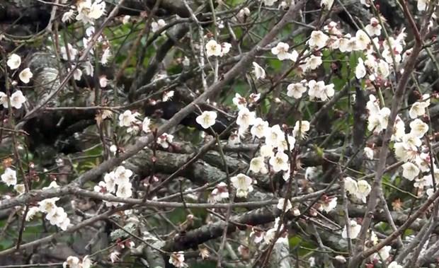 La beaute surprenante au paradis de fleurs d'abricotier a Moc Chau hinh anh 1