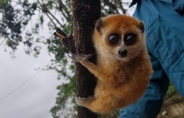 Quang Nam: elargir l'habitat et diversifier les sources de nourriture pour les animaux rares hinh anh 1