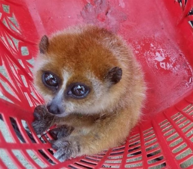Quang Nam: elargir l'habitat et diversifier les sources de nourriture pour les animaux rares hinh anh 2