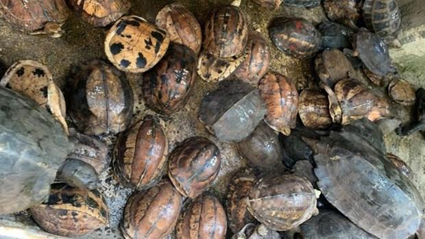 Dix ans d'emprisonnement pour elevage illegal de tortues rares et menacees hinh anh 1