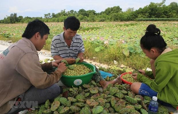 Conservation et developpement durable de la culture du lotus de Thua Thien-Hue hinh anh 2