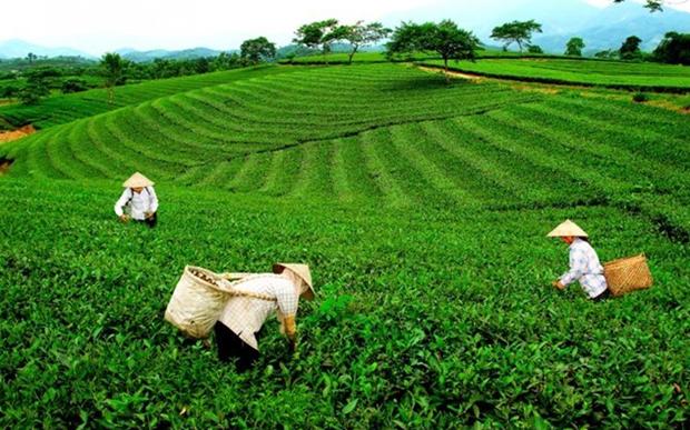 Pour renforcer les exportations de the de Thai Nguyen hinh anh 1