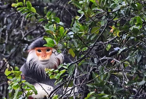Thua Thien-Hue : un primate en voie de disparition relache dans le parc national de Bach Ma hinh anh 1