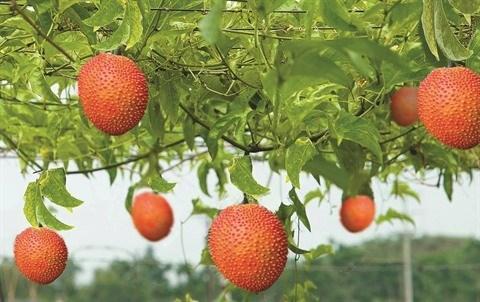 La momordique, le fruit rouge du Tet hinh anh 1