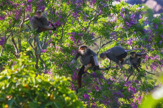 Les primates rares a Da Nang font face a de serieuses difficultes hinh anh 1