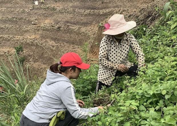 Ho Thi Kim Oanh et le the au « ginseng du pauvre » de Ngoc Linh hinh anh 2