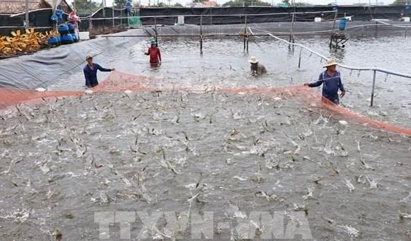 Kien Giang : codes d'identification pour les etablissements d'elevage de crevettes des eaux saumatre hinh anh 1