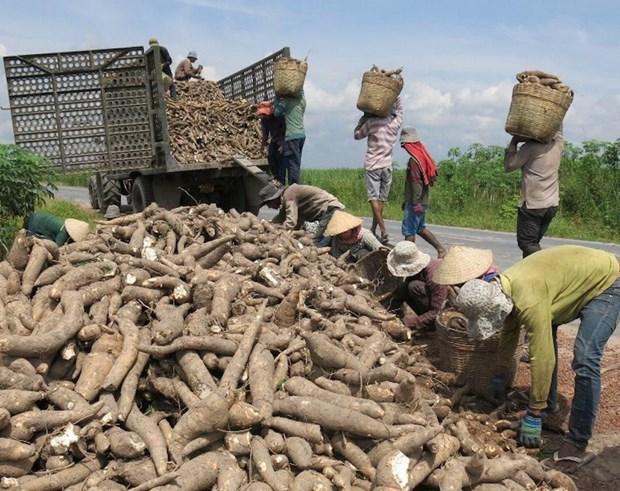 Les exportations vietnamiennes de manioc en 2019 atteignent pres d'un milliard de dollars hinh anh 1