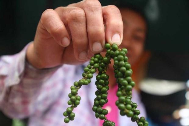 Cambodge : Hausse du prix du poivre grace a la demande du Vietnam hinh anh 1