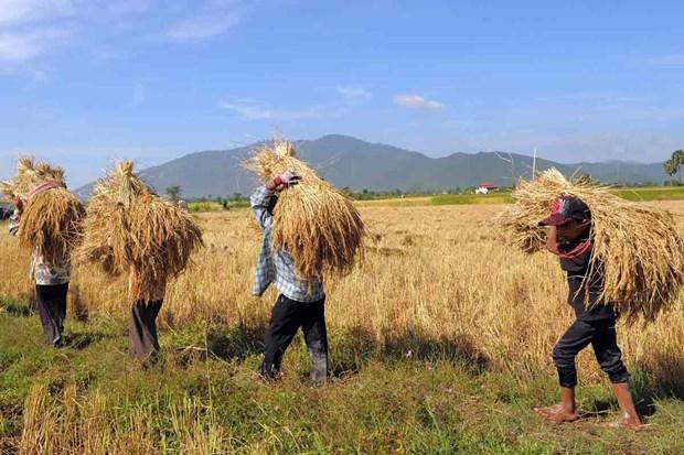 Le Cambodge exporte pres d'un million de tonnes de paddy vers le Vietnam en cinq mois hinh anh 1