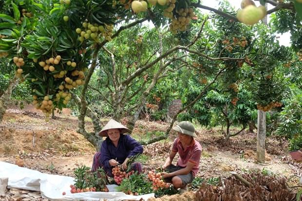 Le litchi « thieu » de Luc Ngan (Bac Giang) a la conquete de marches exigeants hinh anh 2