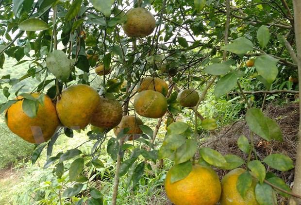 L'orange «Bu», un produit agricole cle du district de Huong Son (Ha Tinh) hinh anh 4