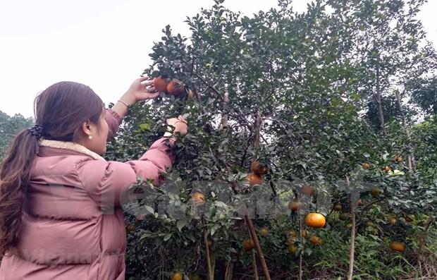 L'orange «Bu», un produit agricole cle du district de Huong Son (Ha Tinh) hinh anh 1