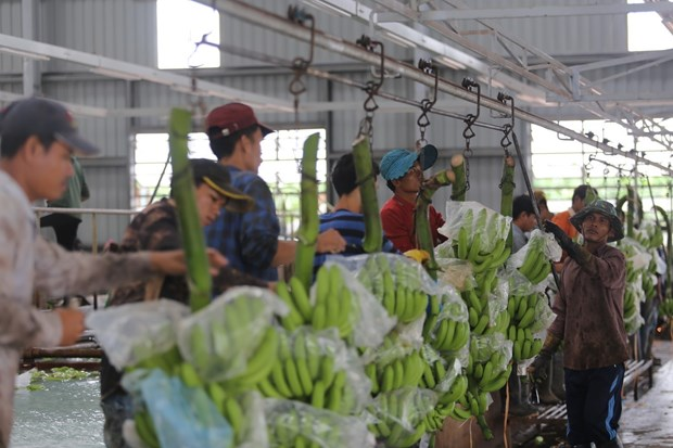 Des projets agricoles au Cambodge soutiennent le changement d'emploi des Vietnamiens hinh anh 2