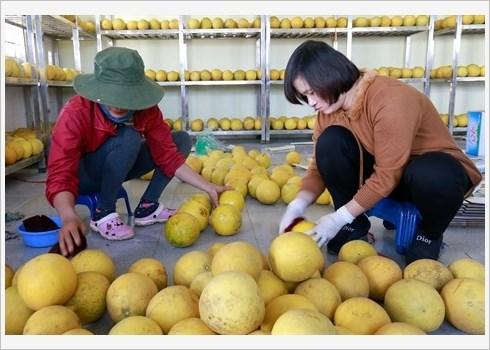 Le pamplemousse de Dien assure la prosperite de Nam Phuong Tien hinh anh 6