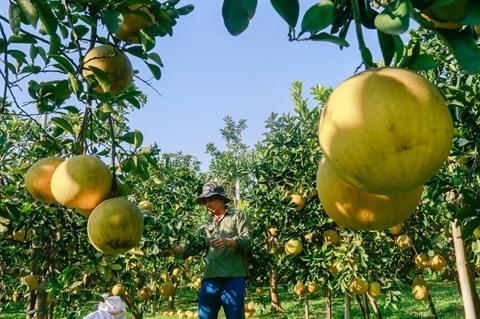 Le pamplemousse de Dien assure la prosperite de Nam Phuong Tien hinh anh 1