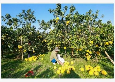Le pamplemousse de Dien assure la prosperite de Nam Phuong Tien hinh anh 4