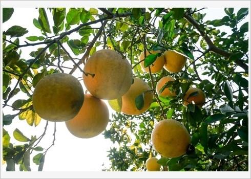 Le pamplemousse de Dien assure la prosperite de Nam Phuong Tien hinh anh 2