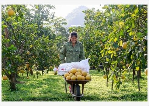 Le pamplemousse de Dien assure la prosperite de Nam Phuong Tien hinh anh 3