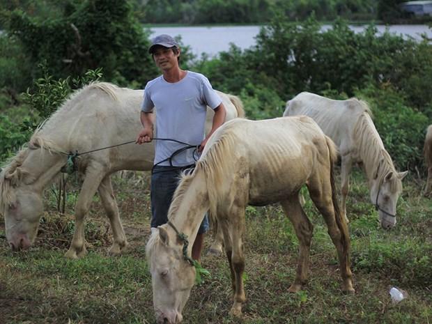 Une ferme de chevaux blancs sur les hauts plateaux du Centre hinh anh 1
