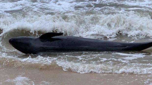 Une baleine de 300 kg s'echoue sur une plage de Phu Yen hinh anh 1