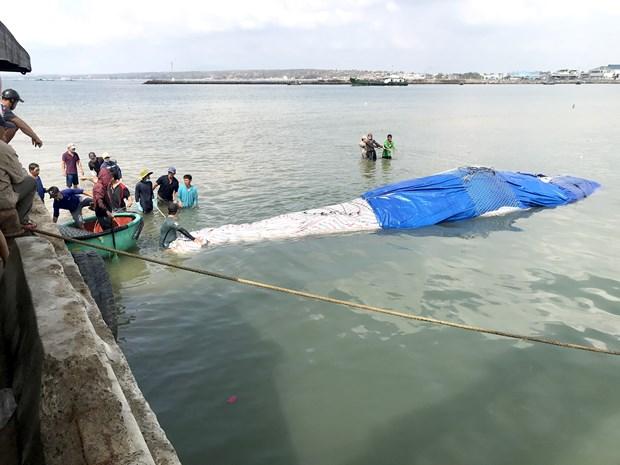 Binh Thuan : Enterrement d'une baleine de plus de 4 tonnes hinh anh 1