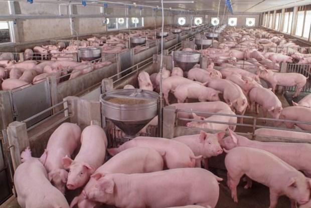 La Russie, premier fournisseur de porc au Vietnam hinh anh 1