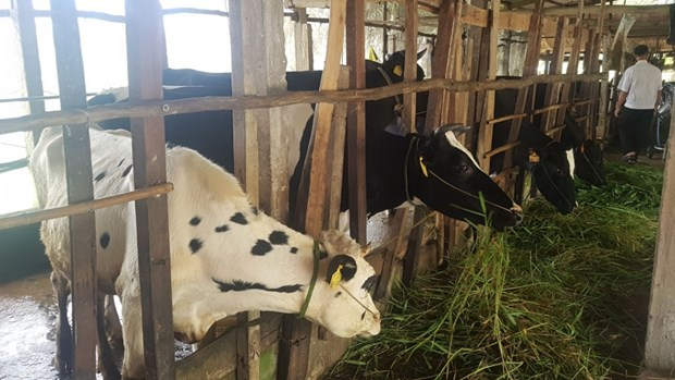 Soc Trang developpe le secteur de l'elevage bovin hinh anh 1