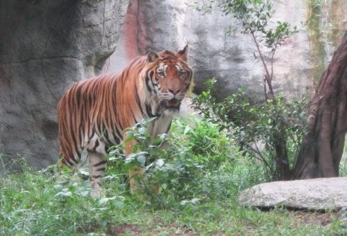 Solutions pour controler le trafic et conservation des tigres sauvages au Vietnam hinh anh 1