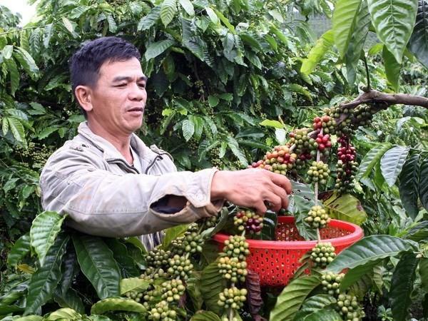 Le Vietnam cherche a elever la valeur ajoutee du cafe hinh anh 1