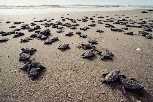 Con Dao – un endroit sur pour les tortues marines hinh anh 1