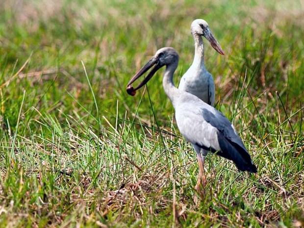 Des bec-ouvert indiens affluent au jardin d'oiseaux de Bac Lieu hinh anh 1