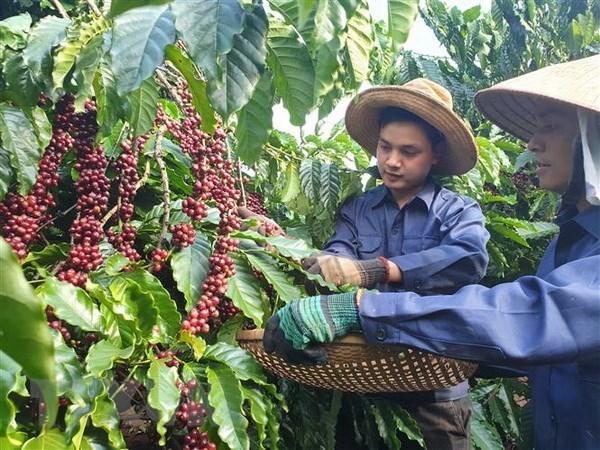 Un projet de production durable de cafe profite aux agriculteurs de Lam Dong hinh anh 1