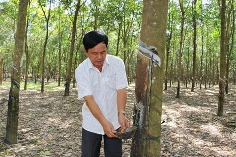 VRG exploite plus de 25.400 tonnes de latex a Kampong Thom (Cambodge) en 2018 hinh anh 1
