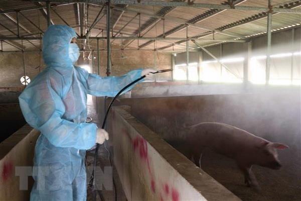 Peste porcine africaine : Hanoi a abattu plus 20% de son cheptel hinh anh 1