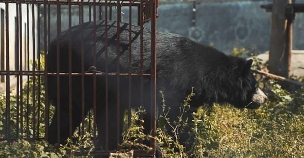 Publication d'un nouveau court-metrage appelant a la fin de l'elevage d'ours hinh anh 1