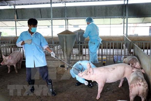 Bac Lieu annonce la fin de la peste porcine africaine hinh anh 1