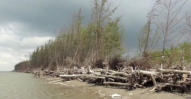 Ben Tre: la protection des mangroves associee au developpement de la production hinh anh 1
