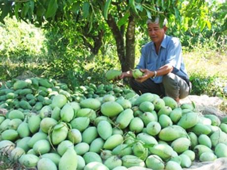 Une societe de Dong Thap a exporte 22 tonnes de mangues au Moyen-Orient hinh anh 1